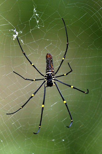 Golden orb-web spider (Nephila pilipes) | by Lip Kee