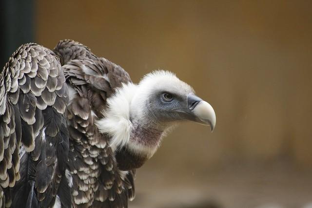 Avvoltoio Europeo
