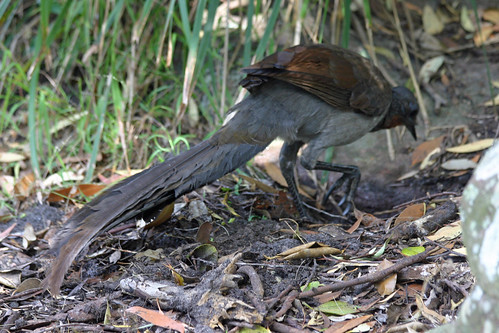 Superb Lyre Bird 1 | by iansand