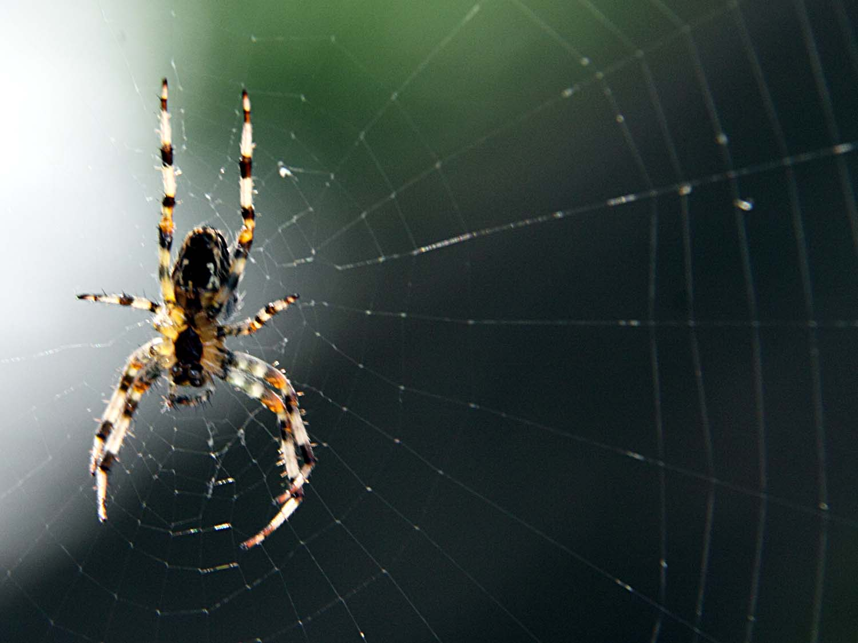 web,spider,spiders,spiders web,england,grappenhall,Warrington,UK,Cheshire,Hotpix,Hotpixuk,insect,insects,macro,Araneae,Grappenhall Village,village,A50,A56,365days,Hotpicks,hotpics,hot,pics,pix,picks,hotpix.freeserve.co.uk