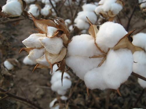 Cotton Harvest | by kimberlykv