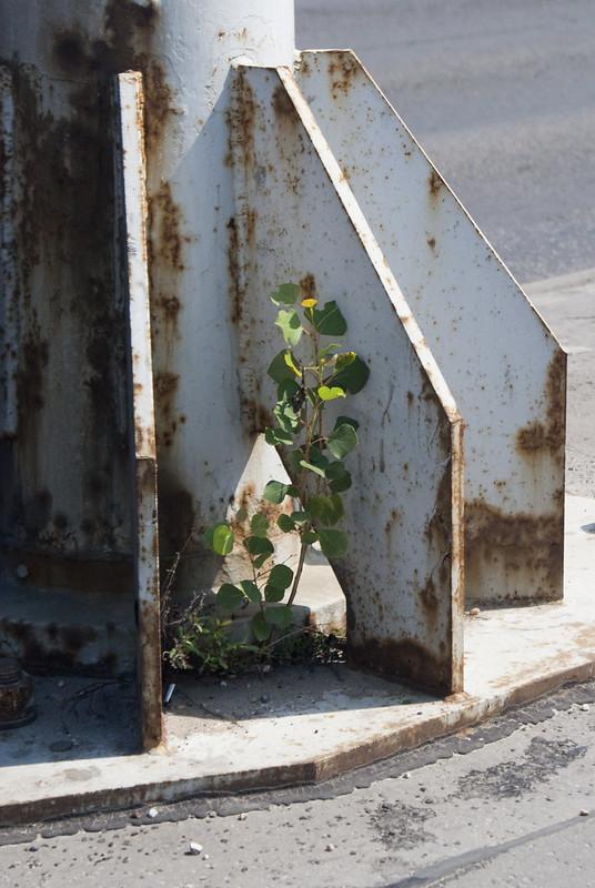 Egy nyárfacsemete telepedett meg a tövében