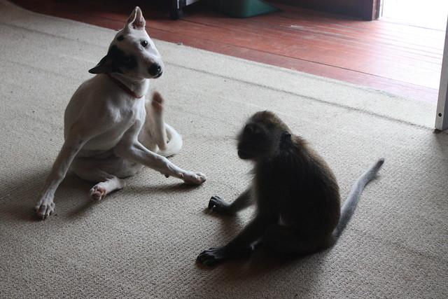 Monkey Imitating Dog