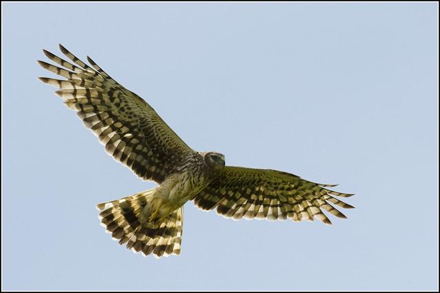 Hawk (Northern Harrier) - 0741