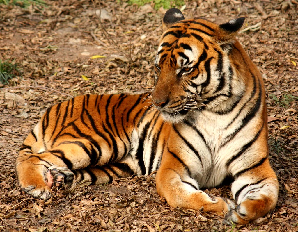 Fun Tiger Facts For Kids Some Tigers Are White And Have Bl Flickr