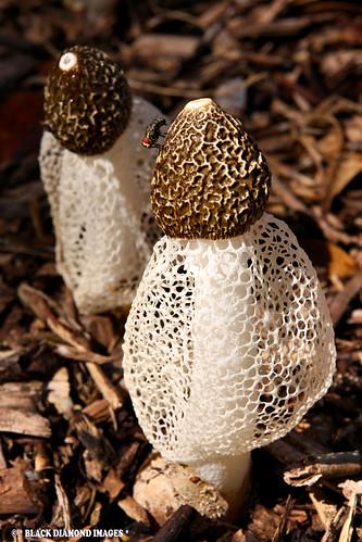 Phallus indusiatus - Long Net Stinkhorn, Crinoline Stinkhorn, Veiled Lady | by Black Diamond Images
