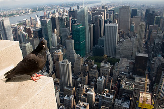 New York - Pigeon (From Empire State Building) | by Alotor
