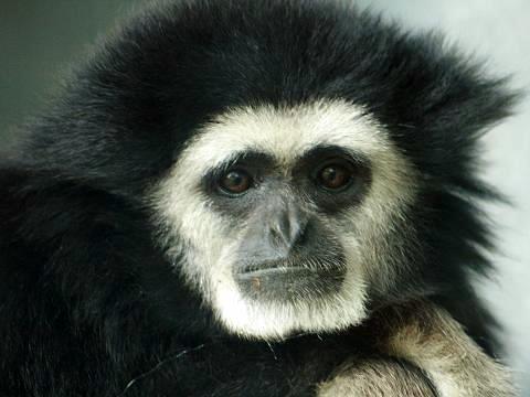 Lar Gibbon | Common name: Lar Gibbon ♂ Scientific name ...