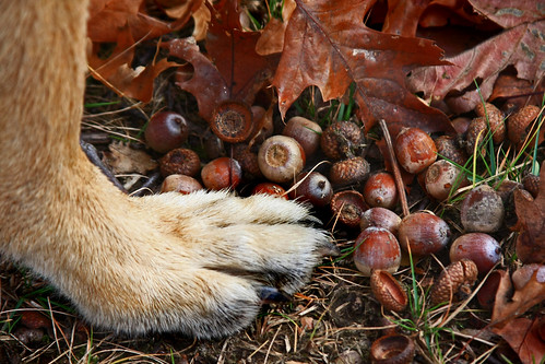 dog scout germanshepherd bigfoot acorns gsd thelittledoglaughed
