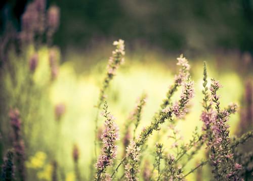 pink macro green yellow canon river purple bokeh ottawa elements acr nepean rideau lr aristotle invasive hbw bokehlicious 100mmf28usm freepresets bokehwednesday 5dmarkii pinurple dheml raceytay ibrakeforbokeh aliumery pupleloosestrifelythrumsalicaria