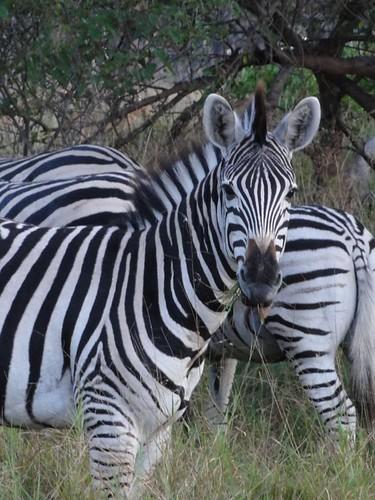 Zebras, Moremi Game Preserve, Botswana | by JMWriter