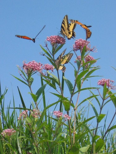 butterflies on swamp milkweed | by The Natural Capital