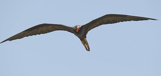 Man-O'-War bird // Scissor's Tail // Gwaloo// Magnificent Frigatebird | by jvverde