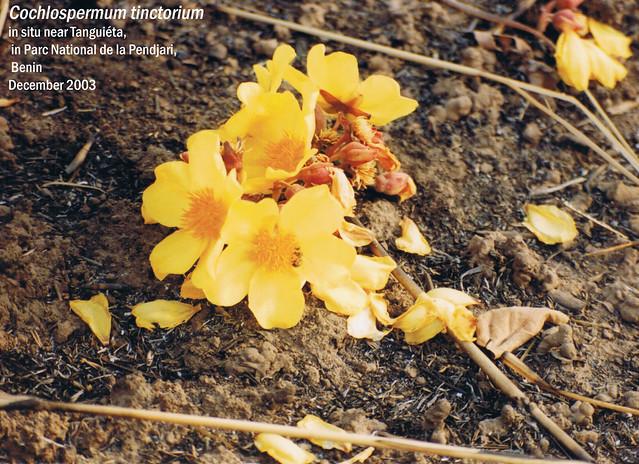 Cochlospermum tinctorium - in situ near Tanguiéta, in Parc National de la Pendjari, Benin Dec, 2003 Leo