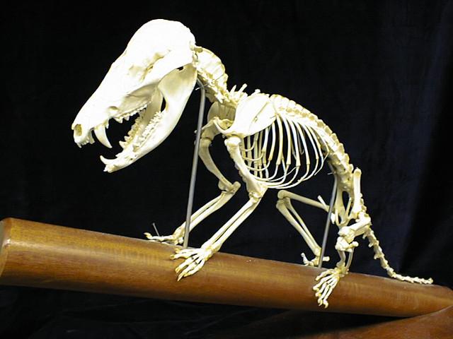 Afbeeldingsresultaat voor marsupial skeleton