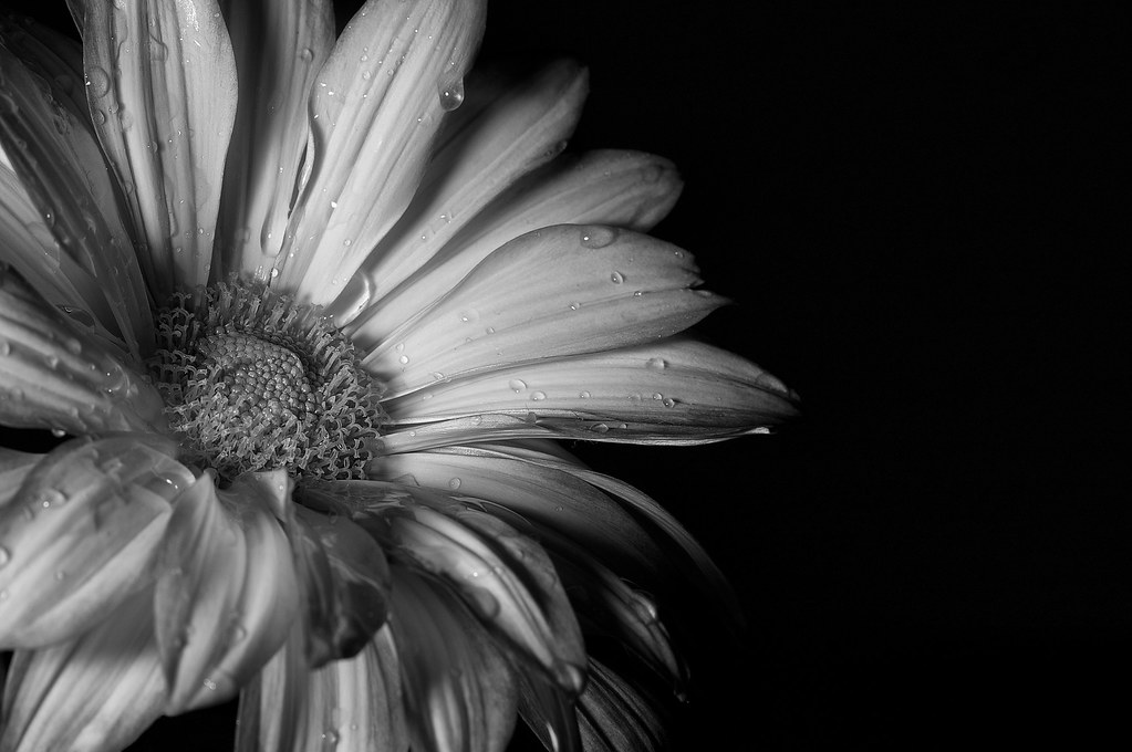 Wet Flower B&W | Wet flower on black Shot with a canon 40d ...