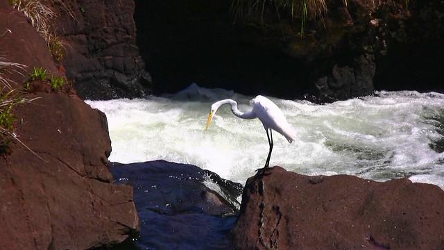 Brasilien-Iguassu- Reiher - schaut