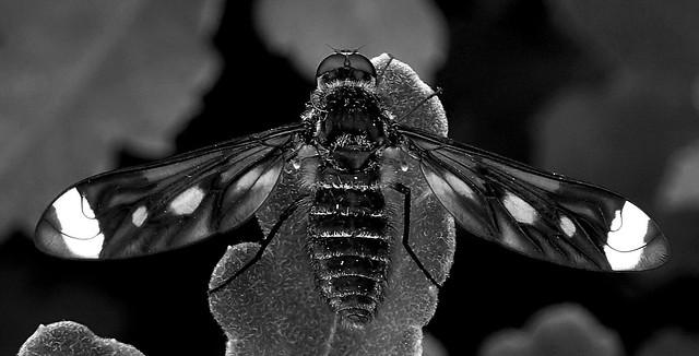 A Bee Fly........ B & W .......Macro Mondays