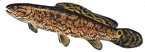 Bowfin (Amia calva) | by NOAA Great Lakes Environmental Research Laboratory