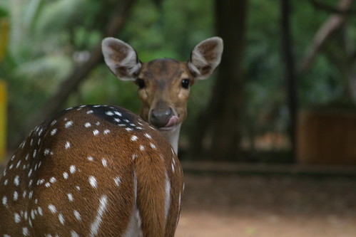 Deer @ Guindy National (Childrens) Park, Chennai | by VinothChandar
