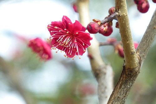 Prunus mume 'Matsurabara Red' 4 | by wundoroo
