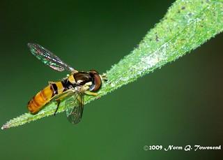 _Yellow-brown fly 2562.JPG.jpg.xcf