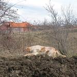 OLIVER DI VALTRESINARO - In accostata su brigata di starne, Serbia 2016.