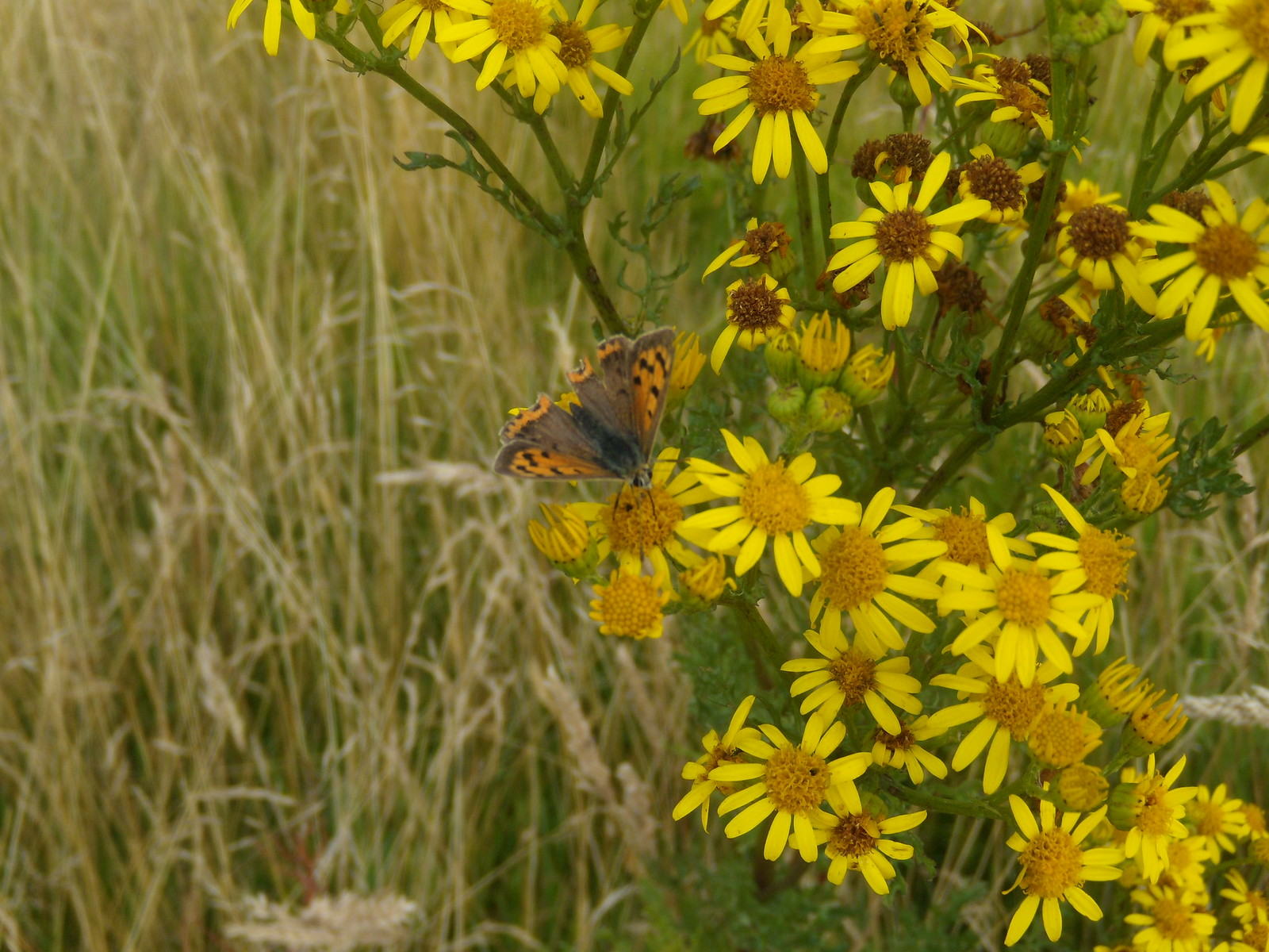 Small Copper on Ragwort Lenham to Charing