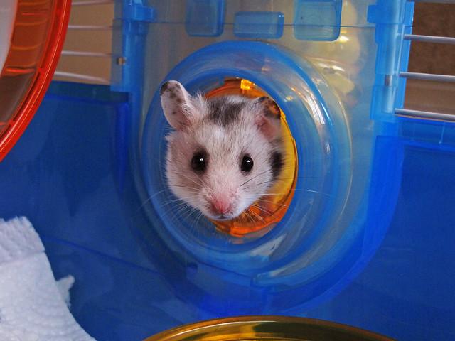 Hamster Wish