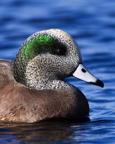 Portrait of an American Wigeon | by Dah Professor