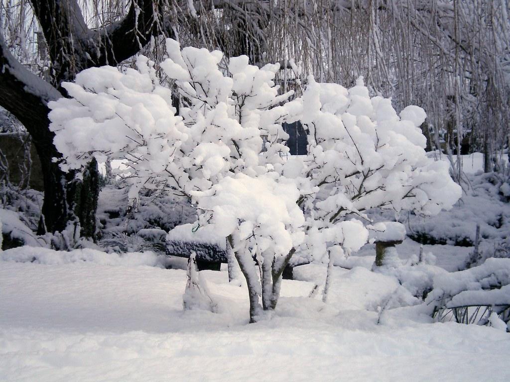 Erable Du Japon Petit érable du japon sous la neige | mon érable du japon sous la