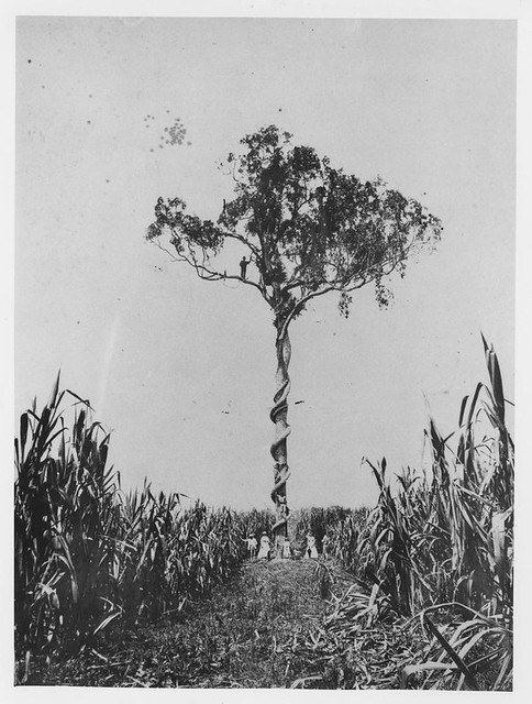 Large fig tree and native vine growing in the middle of sugar cane in the Logan district, 1870