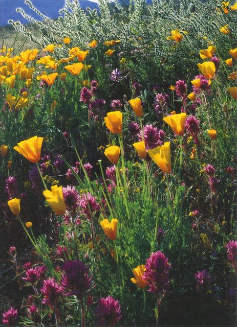 Arizona Wild Desert Flowers Postcard
