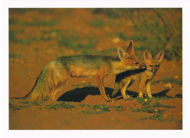 Cape Fox & Kit Postcard