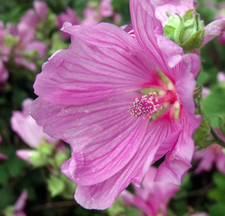 Flower Purple,Lavatera Thuringiaca,Lavatera,Thuringiaca,purple,flower,pink,stamen,365days,nature,natural,history,world,life,plant,bloom,flowers,flores,blome,hotpix!