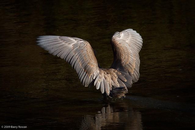 Reddish Egret   Wildphotography - Barry Rowan   Flickr