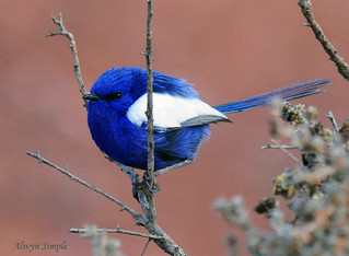 0512_1743 White Winged Wren | by alwynsimple