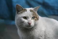 Cat@Kawasaki | by yoda...