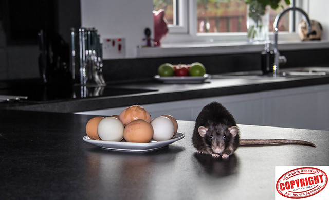 IMG_9520 - There's a rat in mi kitchen what am I gonna do? UB40