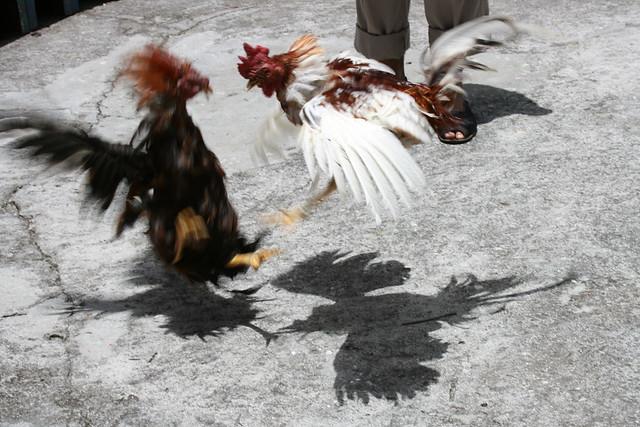 Pelea de Gallos