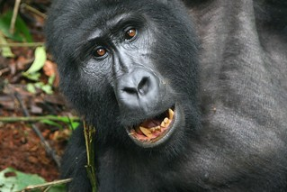 Smiling Mountain Gorilla | by sutography