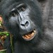 Smiling Mountain Gorilla