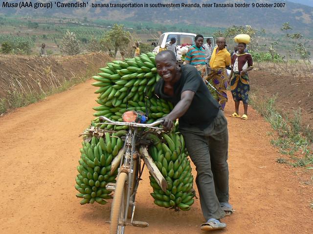Musa (AAA group) 'Dwarf Cavendish' - SW Rwanda nr Tanzania border 9 Oct 2007 Henk