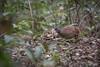Crypturellus parvirostris by edusfranco