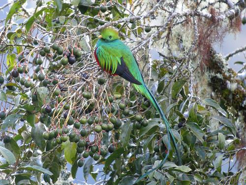 Resplendent Quetzal, Mirador de Quetzales, Costa Rica | by Frank.Vassen