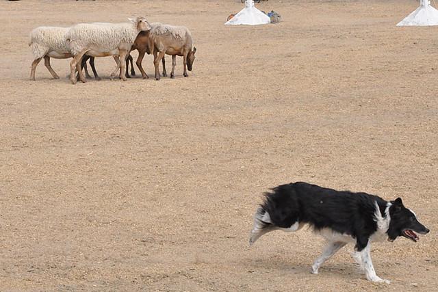 sheep dog pup