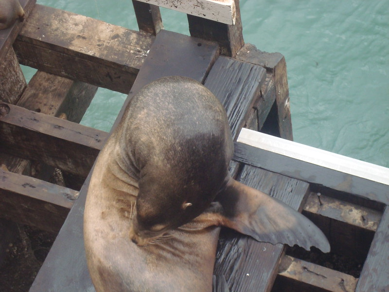 Sea lions at SC Warf