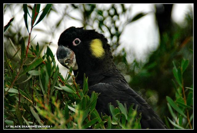 Calyptorhynchus funereus - Yellow-Tailed Black Cockatoo - Male Bird