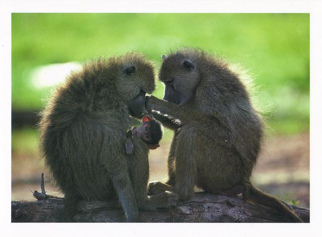 Yellow Baboons Family Postcard