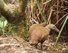 Gallirallus sylvestris - Woodhen - Mount Gower, Lord Howe Island by Chriscious